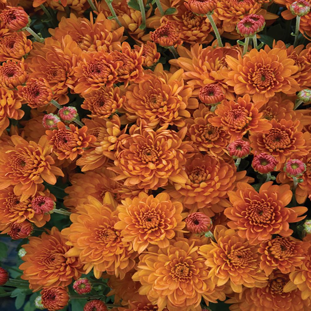 Unbranded 1 71 Pint Bronze Chrysanthemum Plant 67740 The Home Depot
