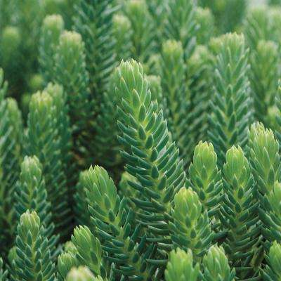 3 in. Pot Blue Spruce Sedum Ground Cover with Yellow Flowers with Blue/Green Foliage Live Perennial Plant (1-Pack)