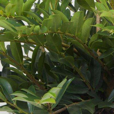 3 Gal. Vintage Jade Distylium, Live Evergreen Shrub, Dark Green Foliage