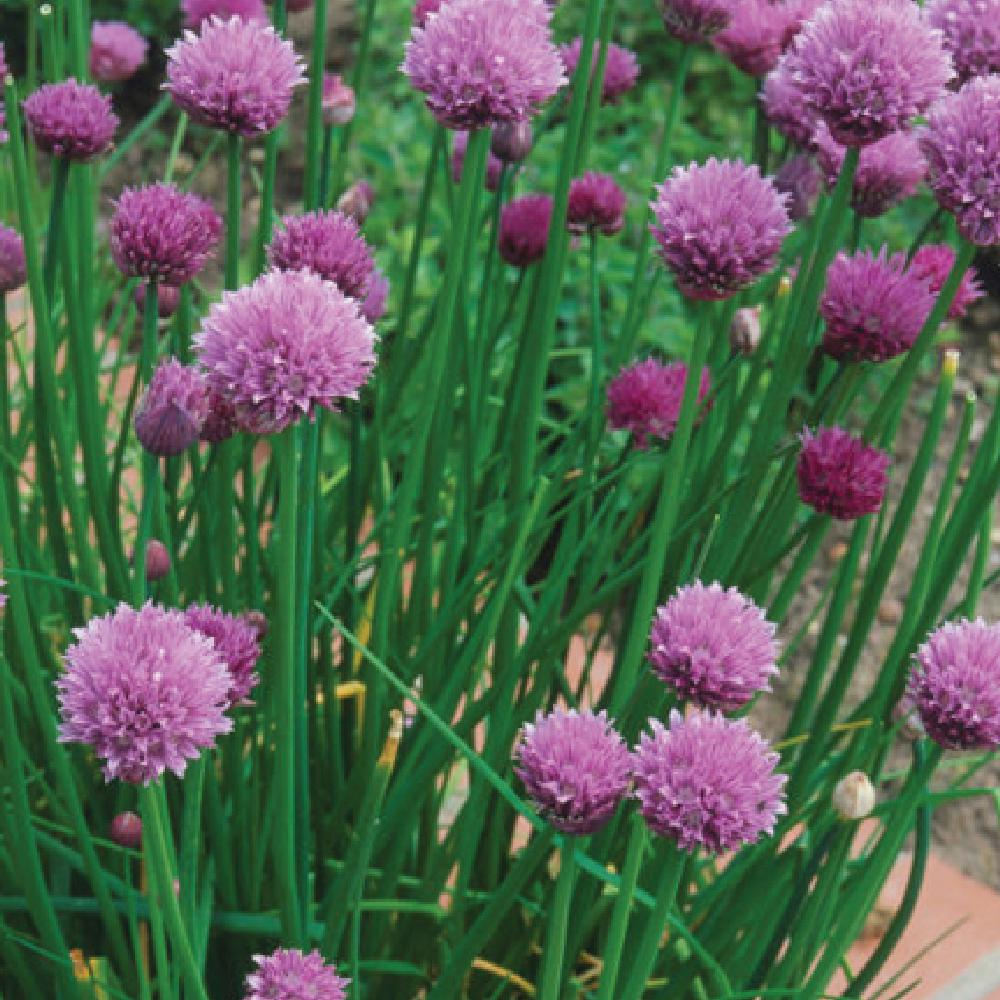 Organic Garden Chives Seeds