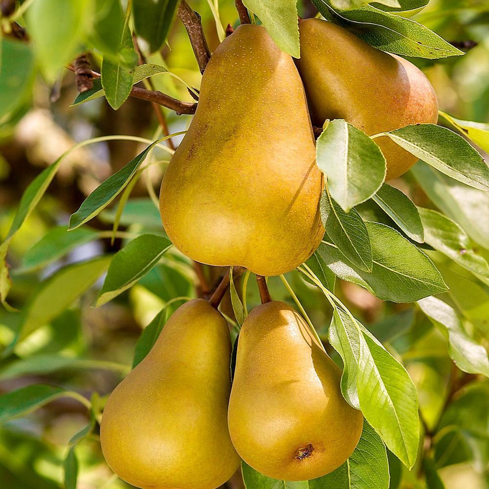 Honeysweet Semi-Dwarf Pear Pyrus Live Fruiting Bareroot Tree (1-Pack)