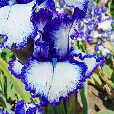 Mariposa Autumn Reblooming Iris, Live Bareroot Plant, White and Blue Flowering Perennial (5-Pack)