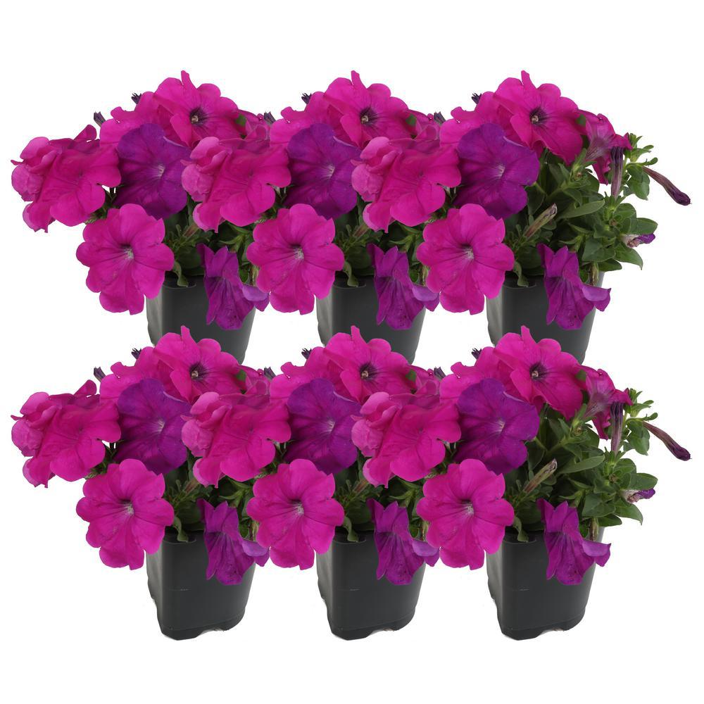 Costa Farms 1 Pt Purple Petunia Flowers In Grower S Pot 6 Pack