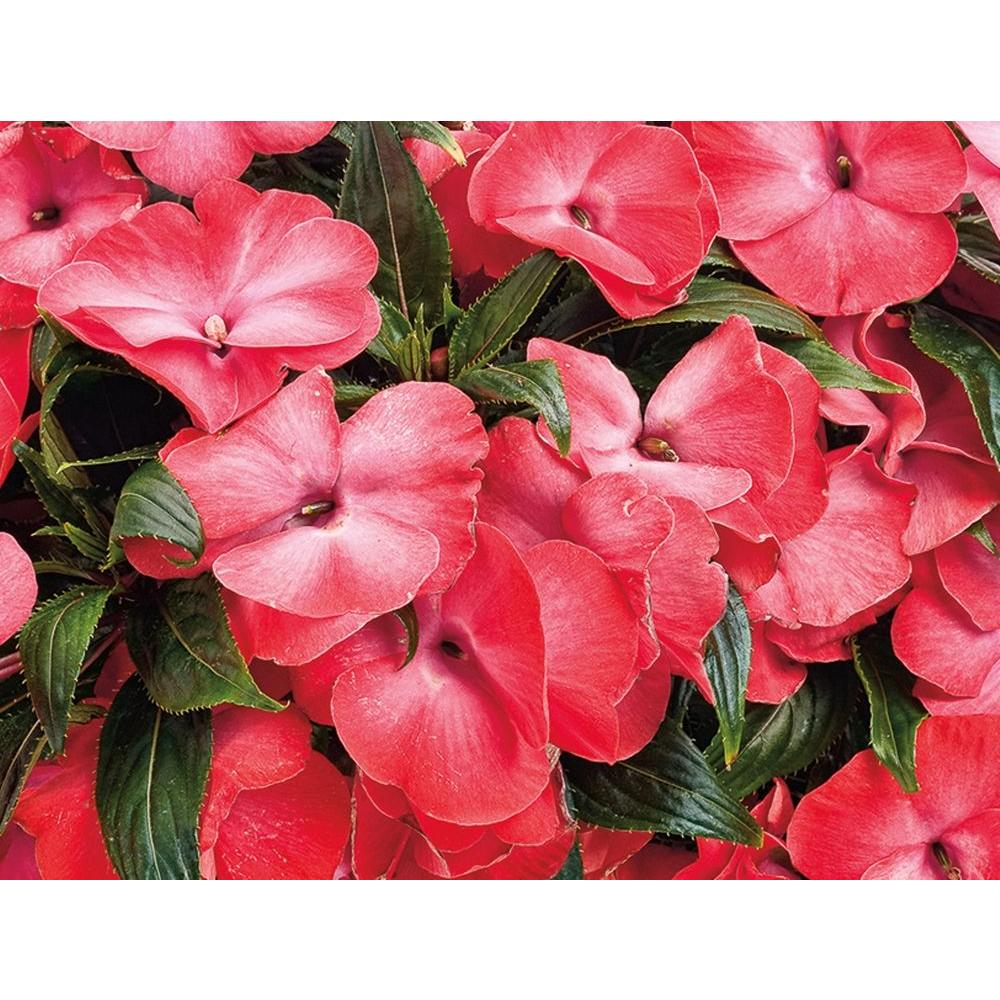 Proven Winners Infinity Electric Coral (New Guinea Impatiens) Live ...
