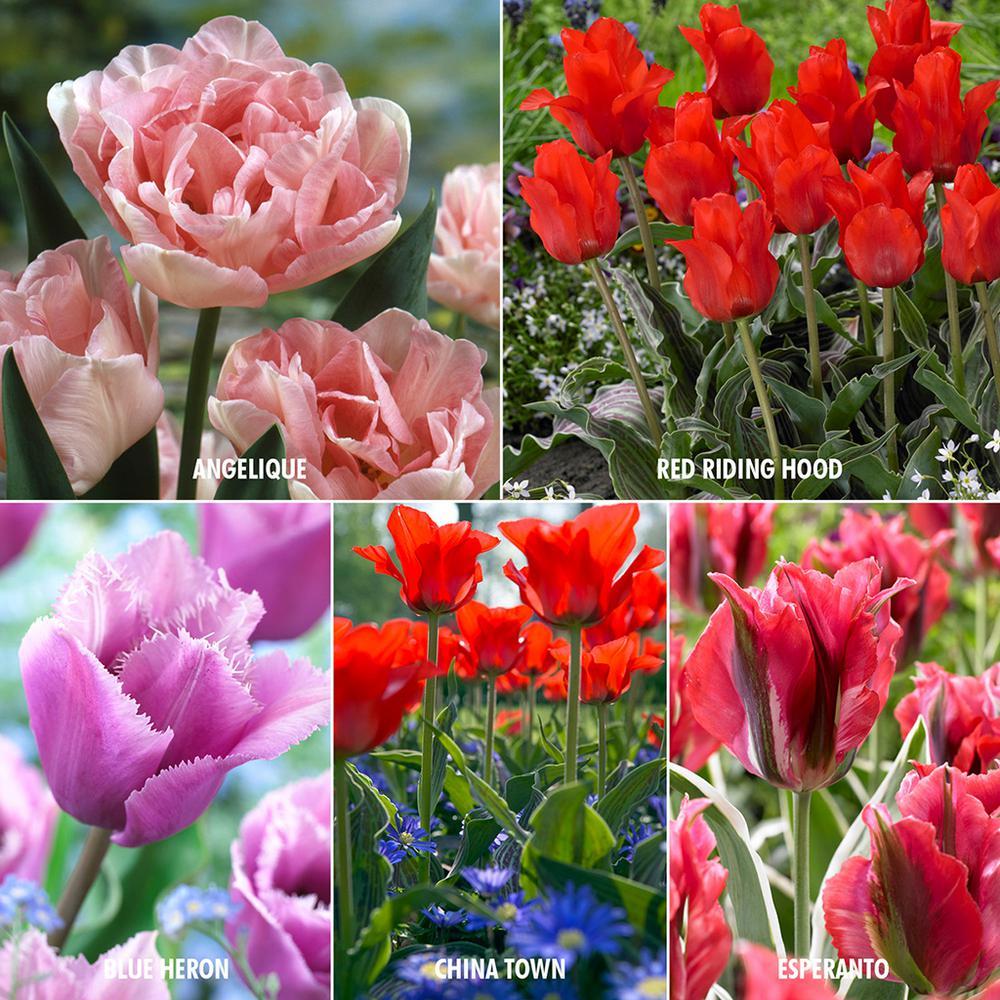 Royal Horticultural Society's Award Of Garden Merit Tulip Collection (Set of 25)