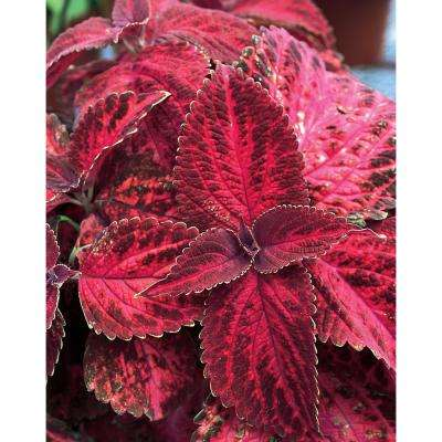 ColorBlaze Kingswood Torch Coleus (Solenostemon) Live Plant, Pink and Deep Purple Foliage, 4.25 in. Grande, 4-pack