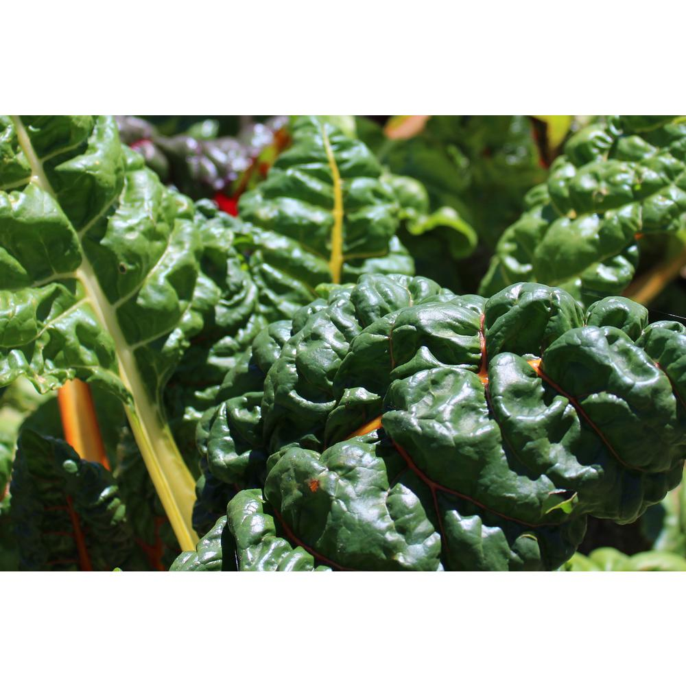 4.25 in. Grande Proven Selections Bright Lights Swiss Chard Live Plant