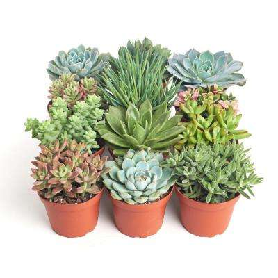 4 in. Assorted Succulent Collection Succulent (Collection of 12)