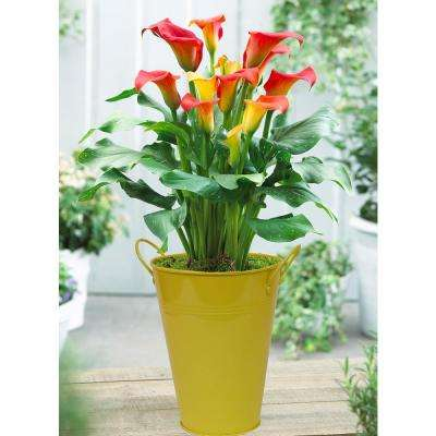 Patio Calla Captain Fuego With Yellow Metal Planter Pot