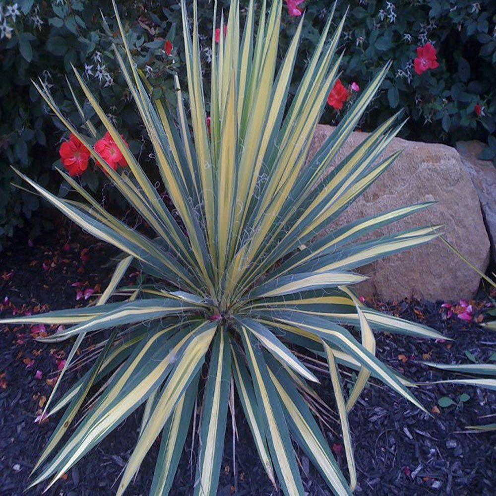 OnlinePlantCenter 1 qt. Bright Edge Yucca Plant-DISCONTINUED