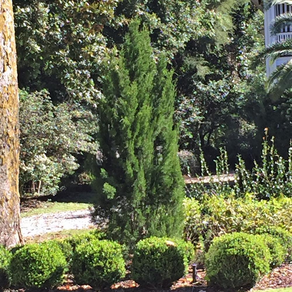 2.5 Qt. Spartan Juniper, Live Evergreen Tree, Dark Green Fast-Growing Privacy Plant