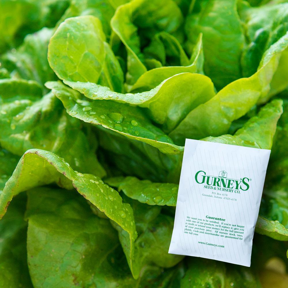 Lettuce Head Buttercrunch (500 Seed Packet)