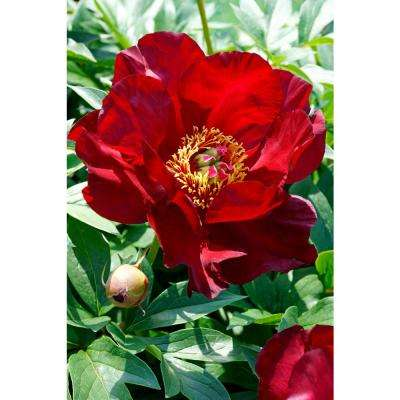 4 in. Pot Itoh Peony Scarlet Heaven Live Potted Perennial Red Flowers