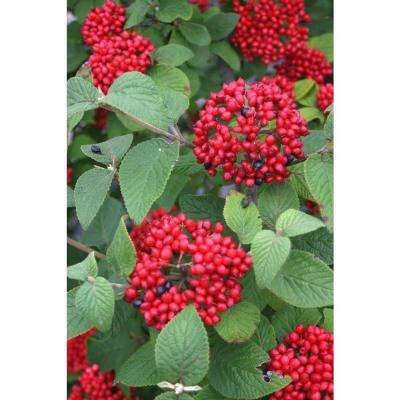 Viburnum deciduous shrubs trees bushes the home depot red balloon viburnum live shrub white flowers and red berries mightylinksfo