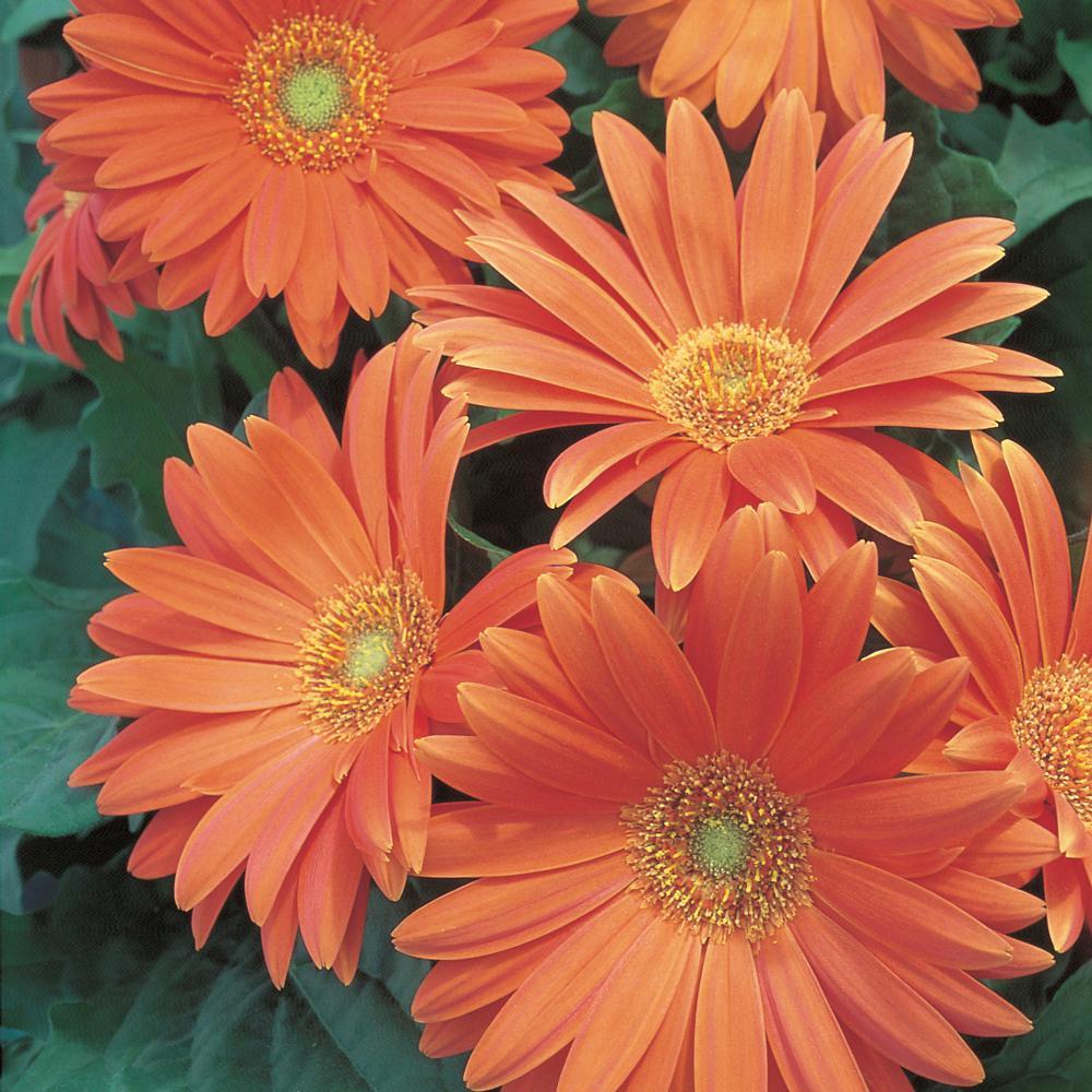 2.5 Qt. Orange Transvaal Daisy Plant