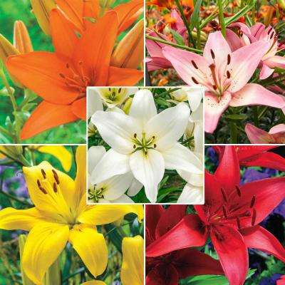 Mixture Asiatic Lily Bulb (25-Pack)