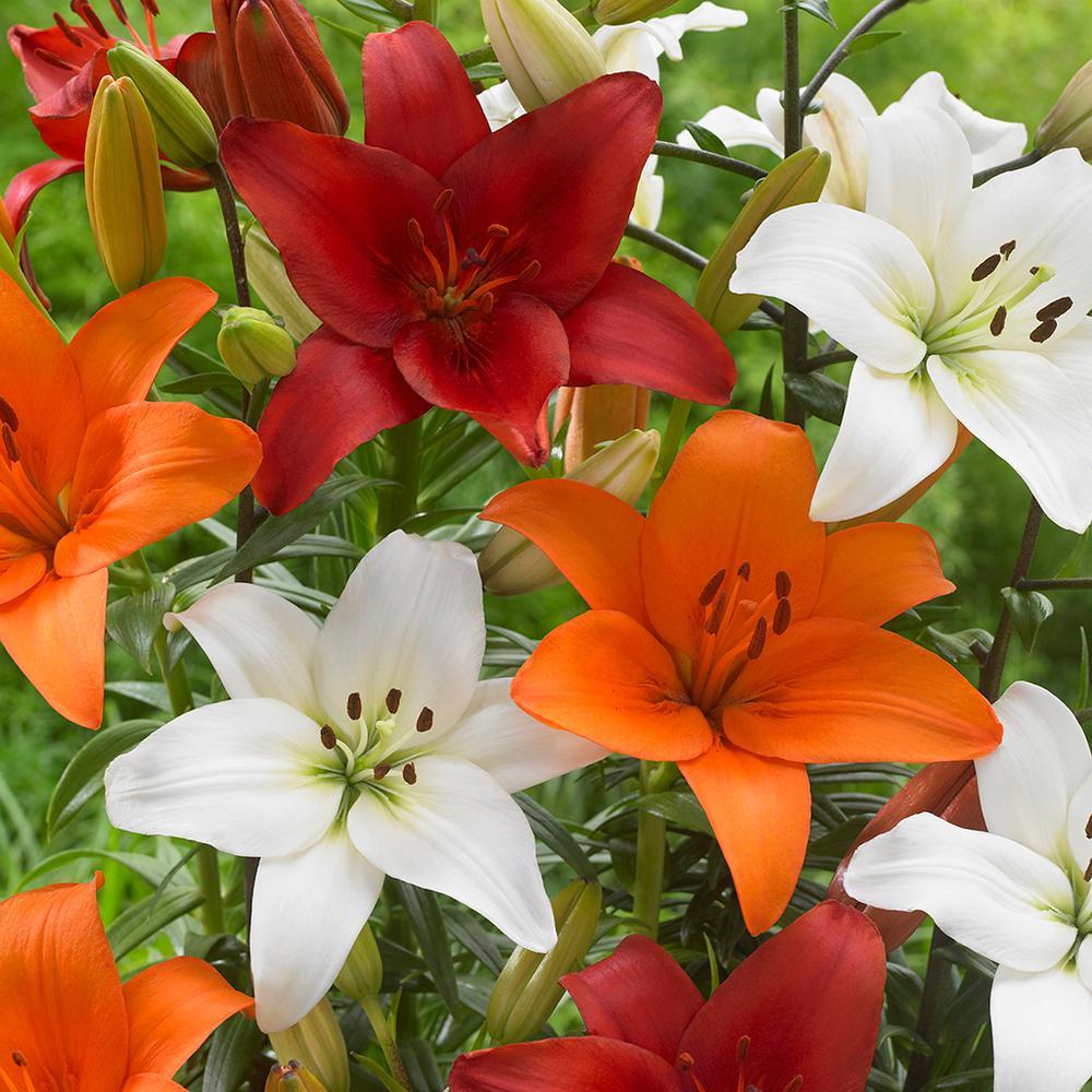 Lilies Perfect Pairing Summer Blend Bulbs (Set of 12)