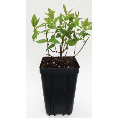 Proven Winner Sugar Mountain Blue Sweetberry Honeysuckle Fruit Bearing Potted Shrub