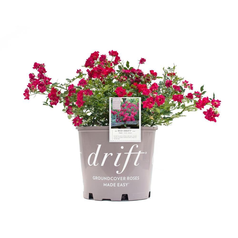 Drift 2 Gal. Rose Plant with Red Flowers
