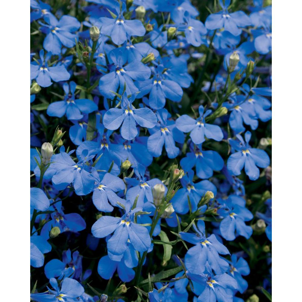 Dark Blue And White Flowers: Proven Winners Lucia Dark Blue (Lobelia) Live Plant, Blue