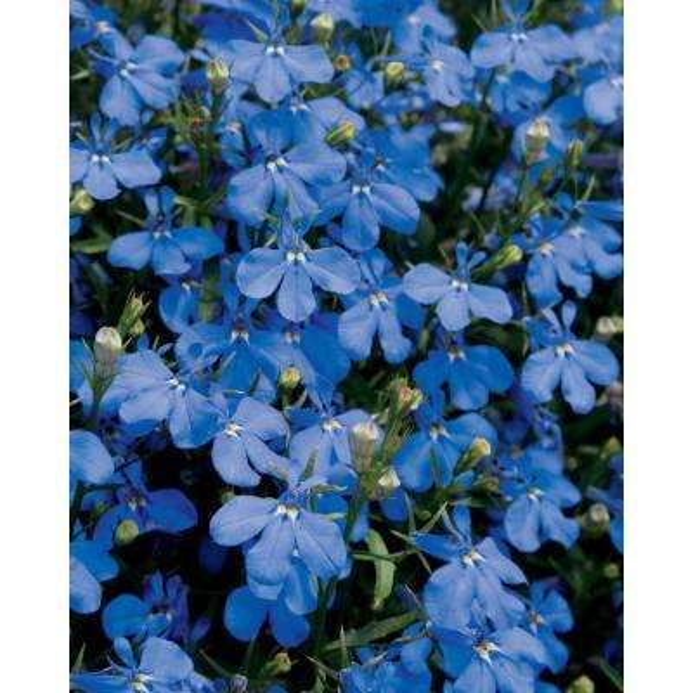 Lucia Dark Blue (Lobelia) Live Plant, Blue Flowers, 4.25 in. Grande, 4-Pack