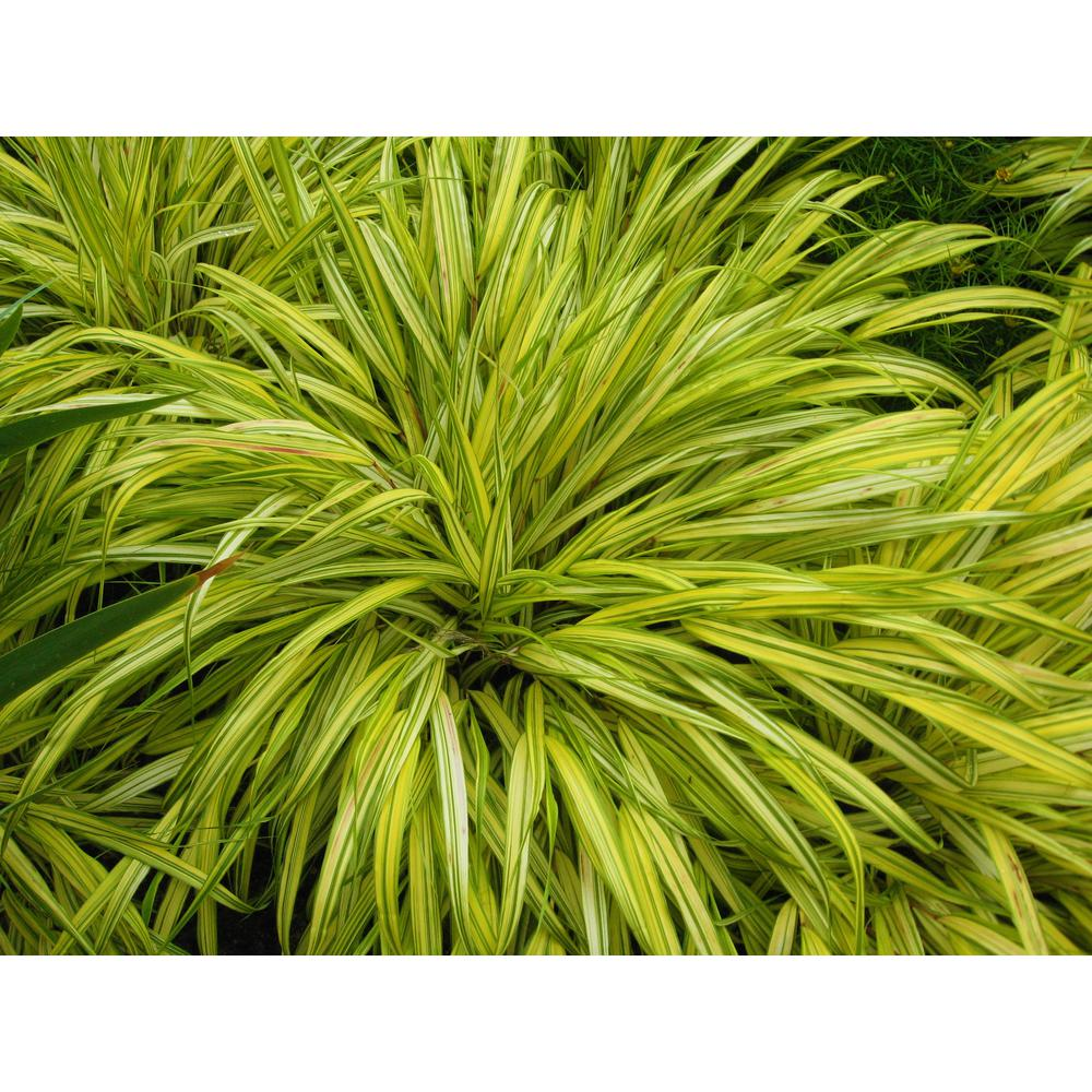 1 Gal. All Gold Japanese Forest Grass - a Bright Golden, Graceful Groundcover with Striking Color
