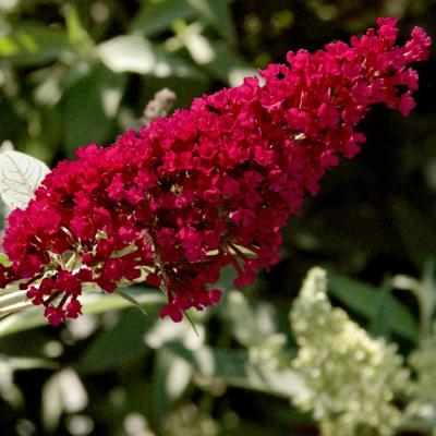 2.5 qt. Buddleia Royal Red Flowering Shrub with Red Flowers