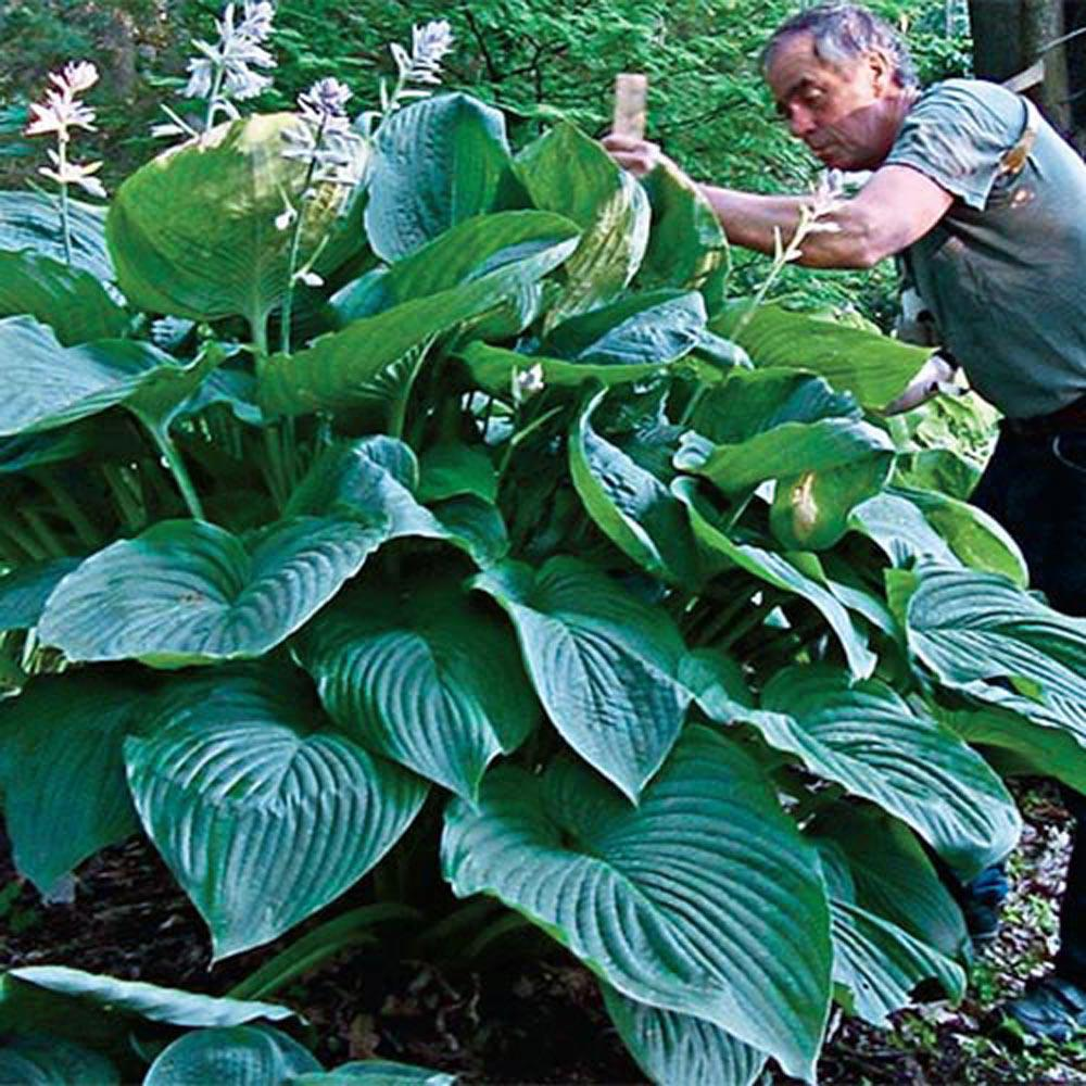Spring Hill Nurseries Empress Wu Giant Hosta Live Bareroot Plant