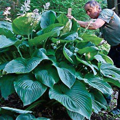 Empress Wu Giant Hosta, Live Bareroot Plant, Large Green Foliage Perennial (1-Pack)
