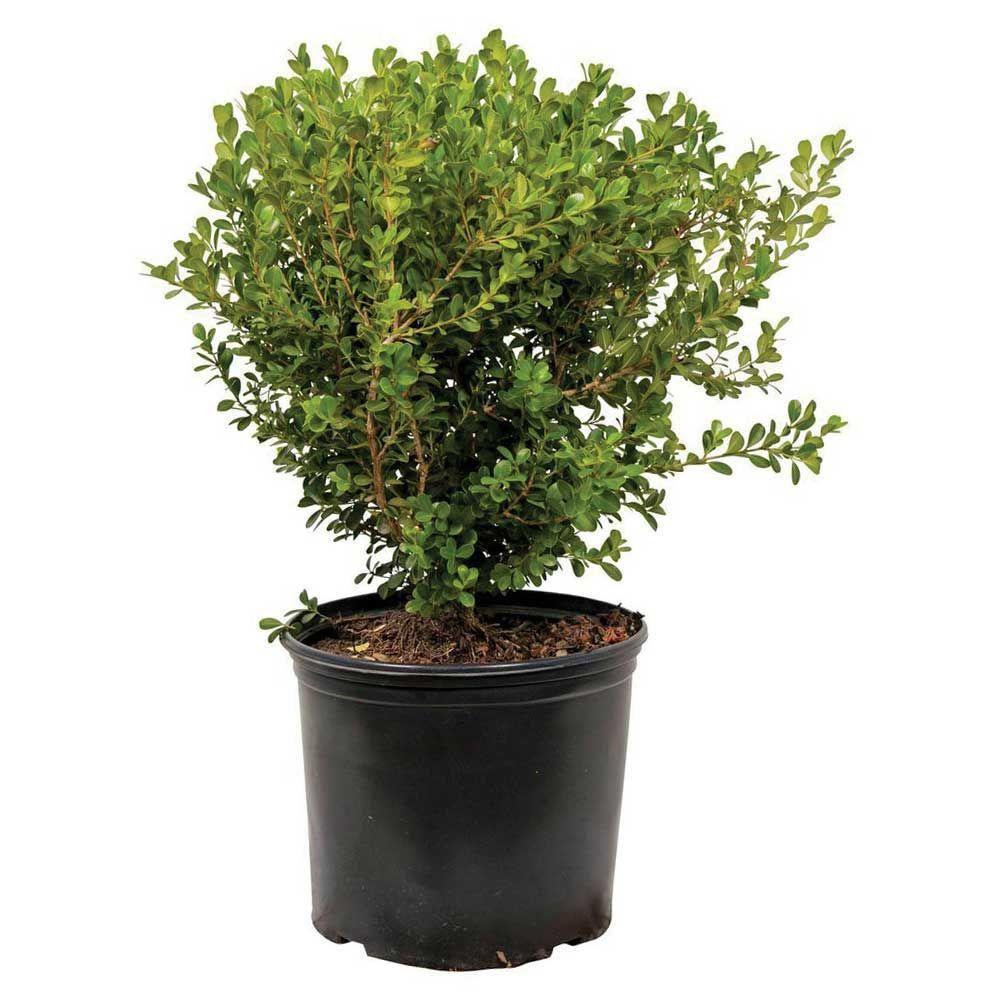 9.25 in. Pot - Japanese Boxwood, Live Shrub Plant, Glossy Light Green Foliage