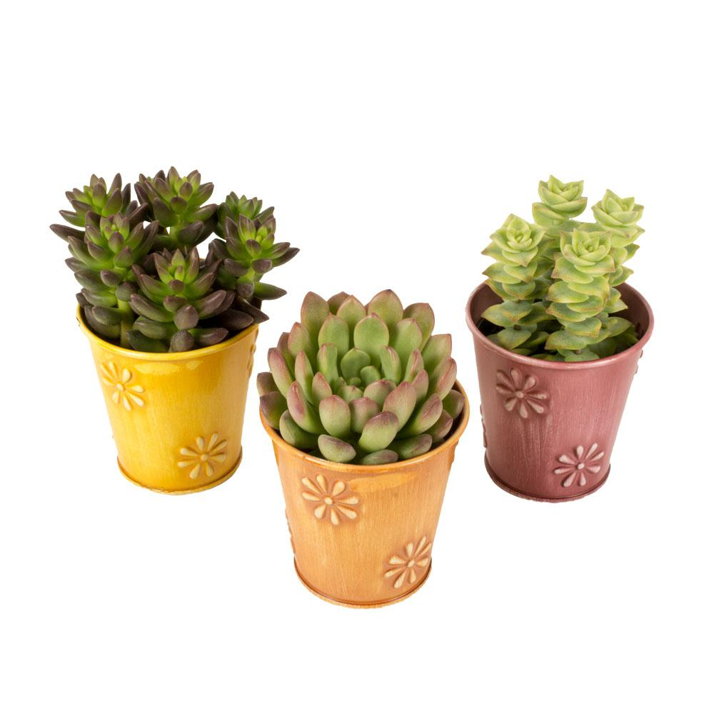 2 5 In Assorted Succulents In A Colored Daisy Tin 3 Pack