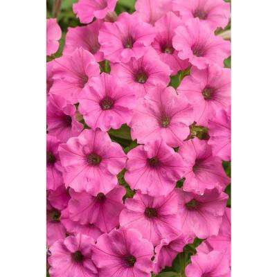 4-Pack, 4.25 in. Grande Supertunia Hot Pink Charm (Petunia) Live Plants, Pink Flowers
