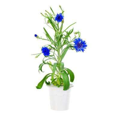 Cornflower Refill (3-Pack) for Smart Herb Garden