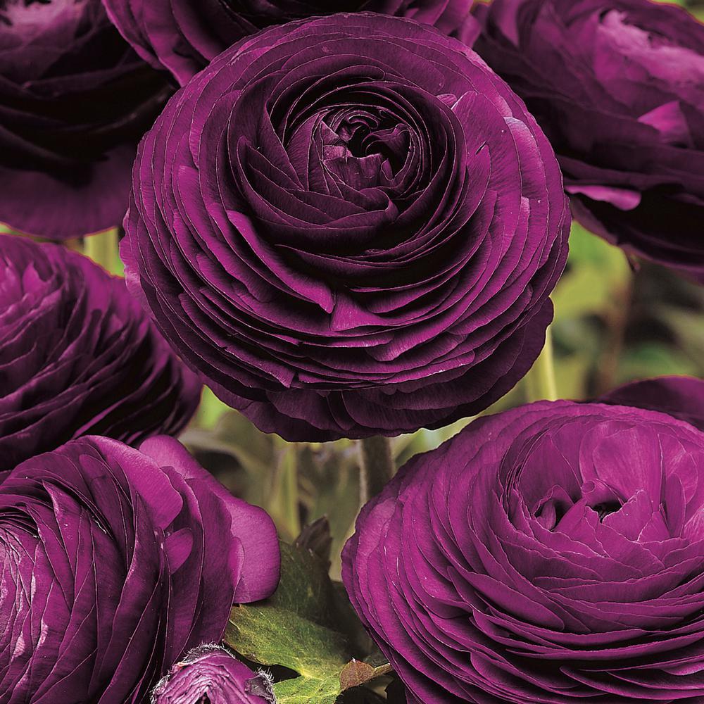 Purple Flowers Purple Sensation Ranunculus Bulb Mixture (50-Pack)