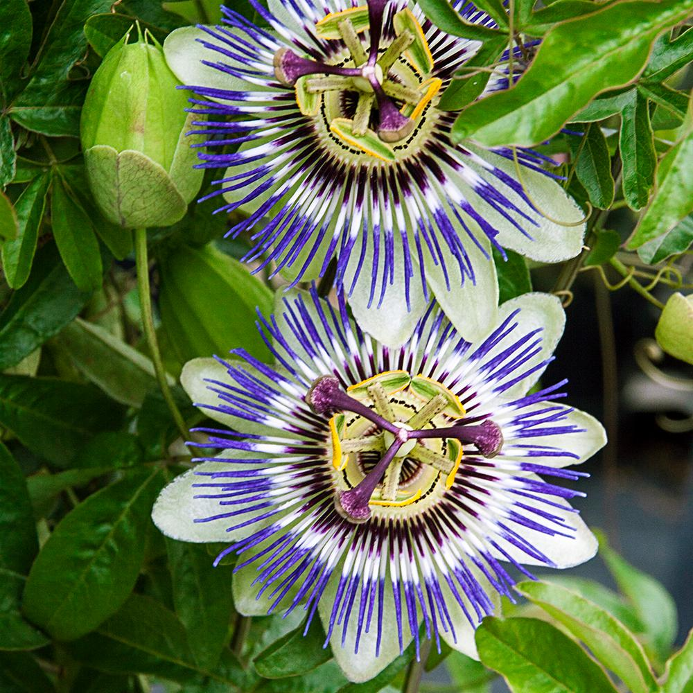 Gardens Alive Blue Passion Flower Potted Plant 76493