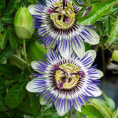 Blue Passion Flower Potted Plant