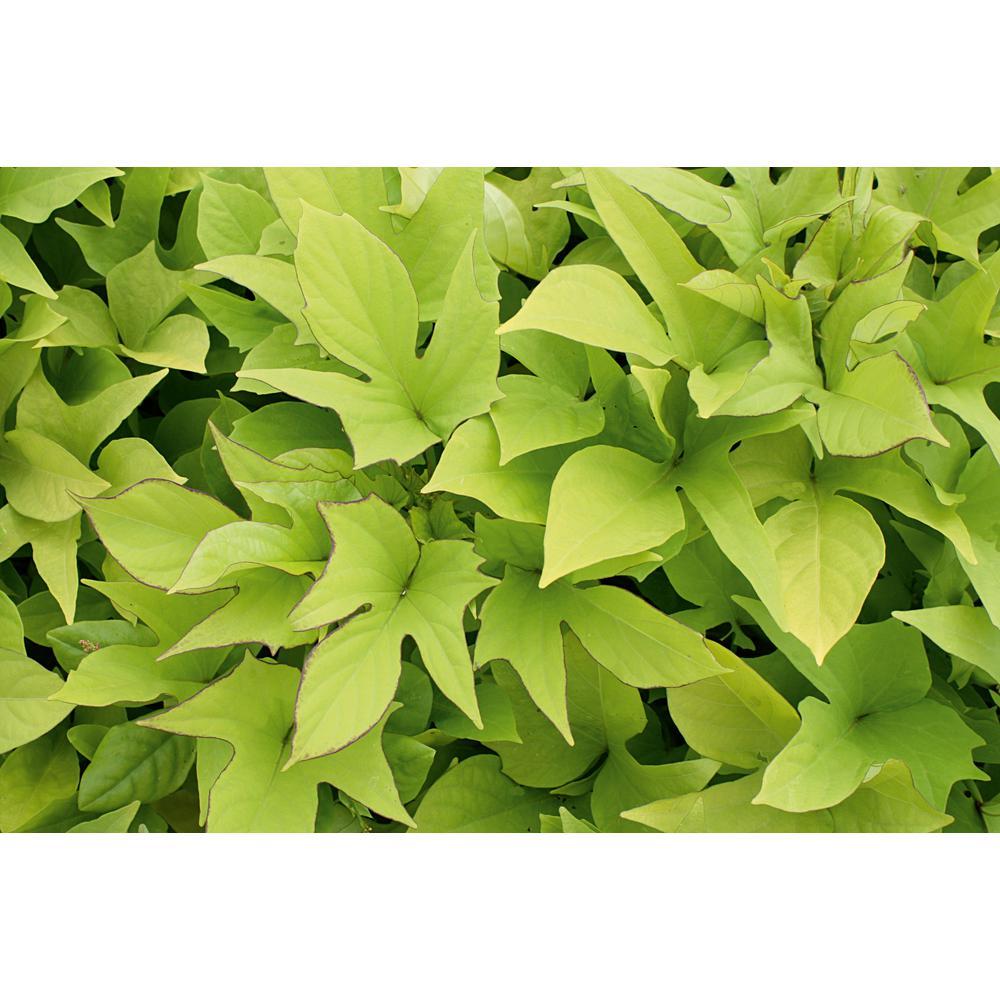 4.25 in. Grande Sweet Caroline Light Green Sweet Potato Vine (Ipomoea) Live Plant, Green Foliage (8-Pack)