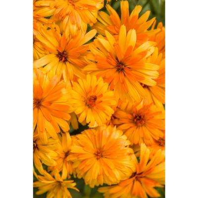 Lady Godiva Orange English Marigold (Calendula) Live Plant Orange Flowers 4.25 in. Grande (4-Pack)