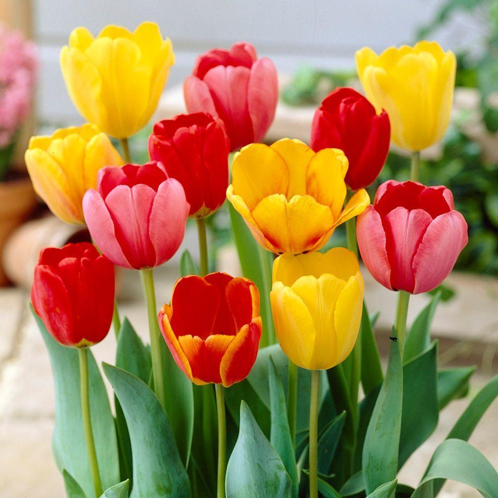 null Tulip Mixed Dormant Bulbs (80-Pack)