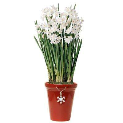 Ziva Paperwhite Narcissus Bulbs (15 to 17 CM / 25-Pack)