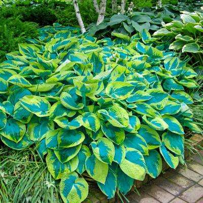 Hostas For Sale >> Tokudama Flavocircinalis Hosta Variegated Foliage Live Bareroot Perennial Plants 3 Pack