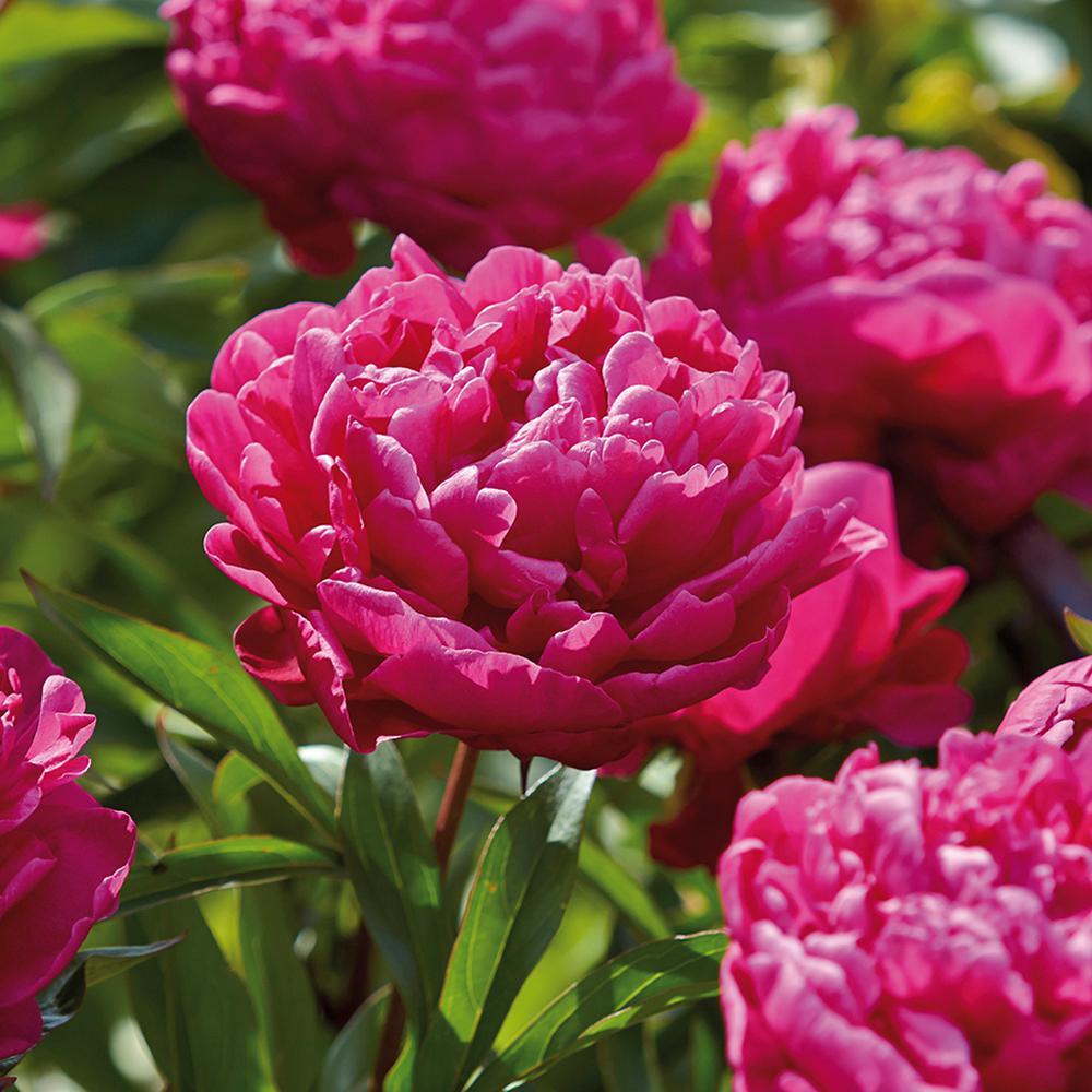 Red Flower Bulbs Garden Plants Flowers The Home Depot