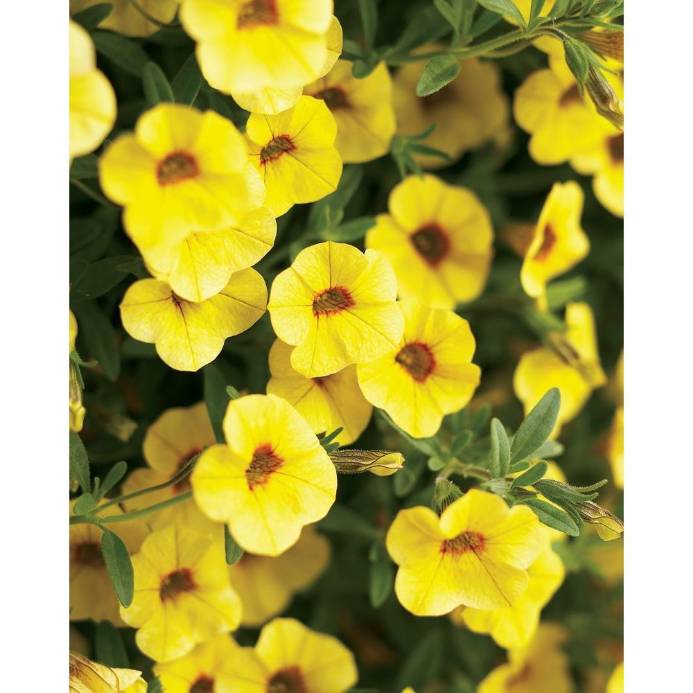Superbells Saffron(Calibrachoa) Live Plant, Yellow Flowers, 4.25 in. Grande