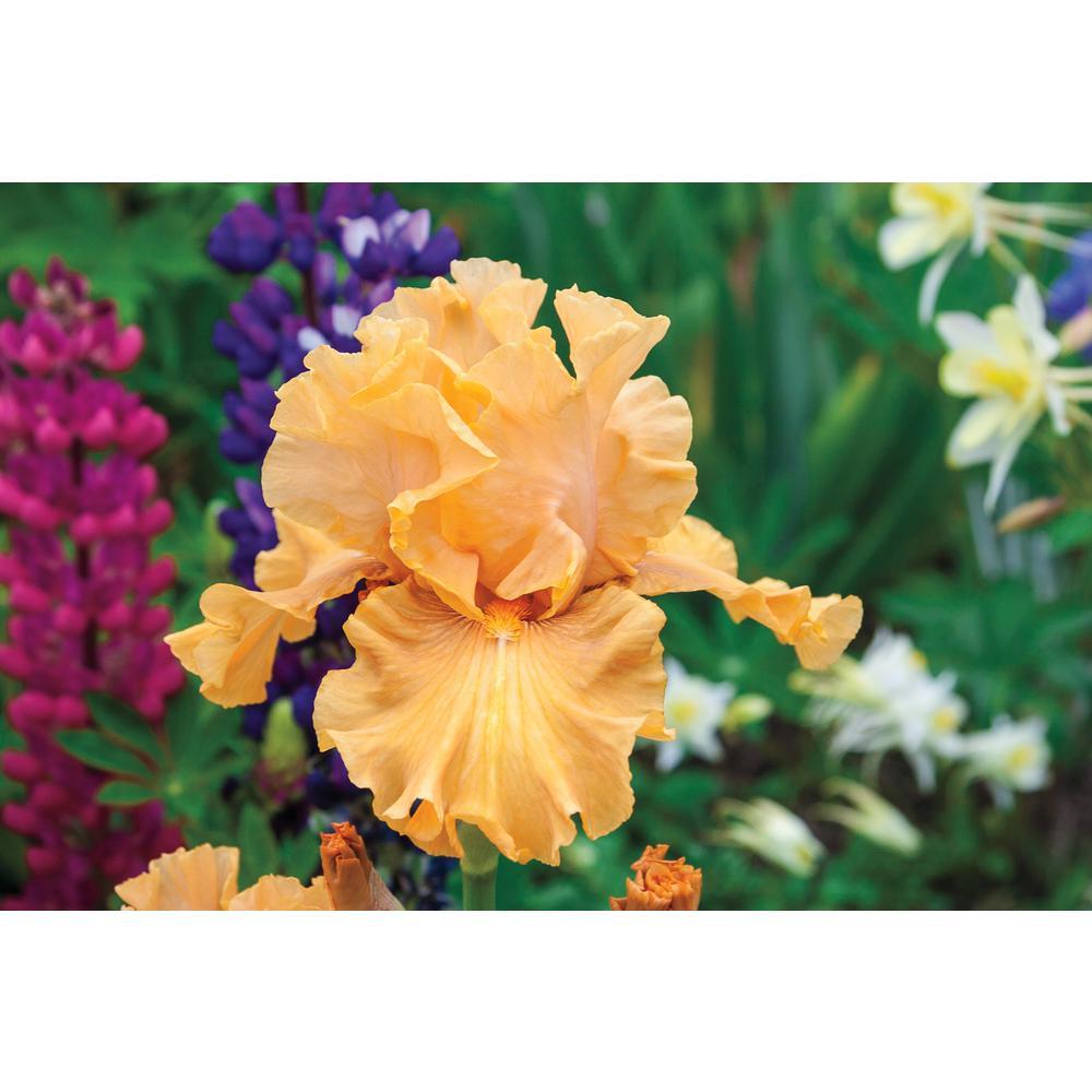 Mango Entr Bearded Iris Orange/Yellow Colored Flowers Live Bareroot Plant