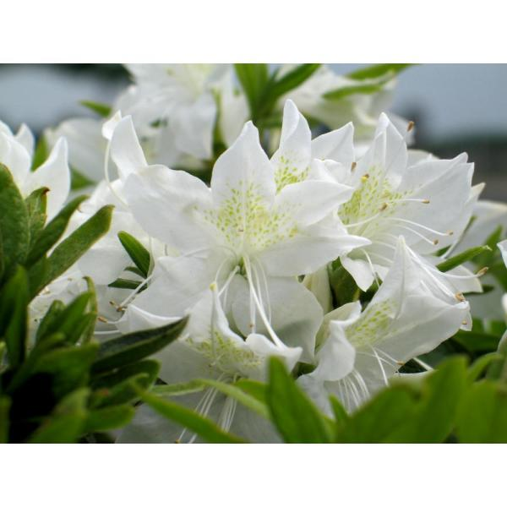 2 Gal. Cascade Azalea Plant