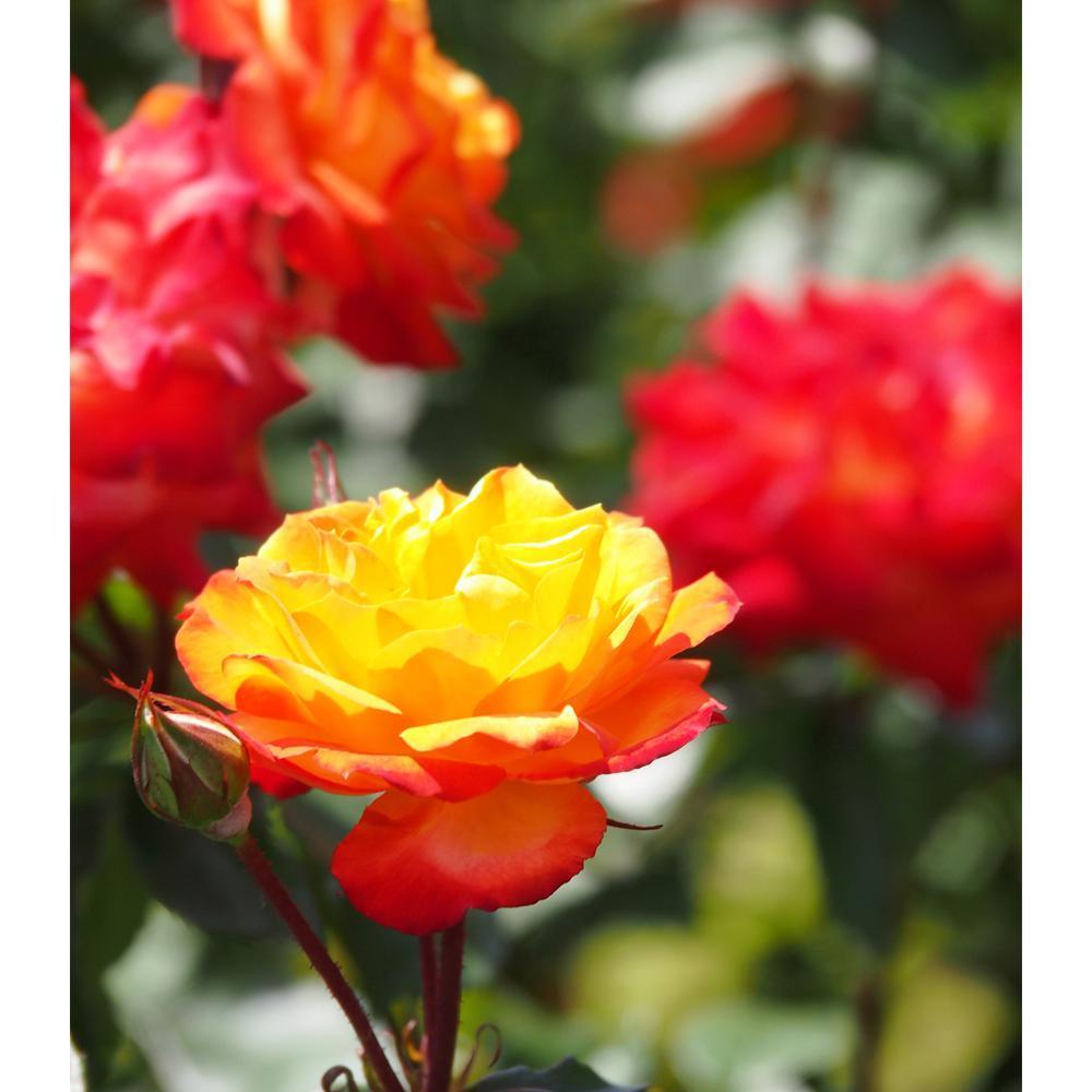 FRAGRANT Orange Blend Rose Charisma Plant