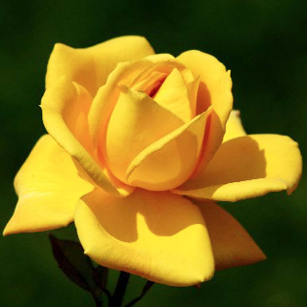 Mea Nursery All-Time Favorites Oregold Hybrid Tea Rose with Golden-Yellow Flowers was $25.98 now $10.49 (60.0% off)
