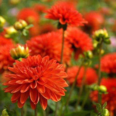 Jewel Orange Dahlia Bulbs (3-Pack)