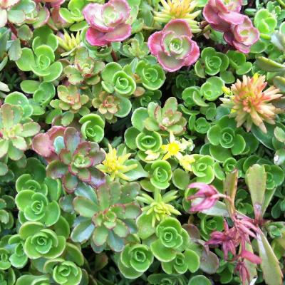 10 in. x 10 in. Yellow/White/Pink/Red Stonecrop Sedum Tile Groundcover (2-Pack)