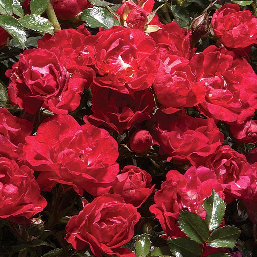 Mea Nursery EcoRose Red Drift Rose, Twin Pack